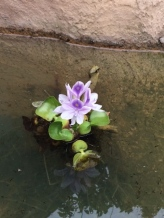 waterflower